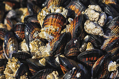 Crustacean Photograph - Mussels And Barnacles by Mark Kiver