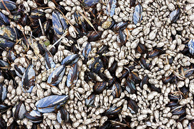 Mussels And Barnacles, Olympic National Art Print