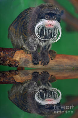 Photograph - Mustached Monkey Emperor Tamarin With Reflection  by Jim Fitzpatrick