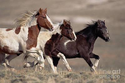 Mustang Bachelor Stallions Art Print by Yva Momatiuk John Eastcott