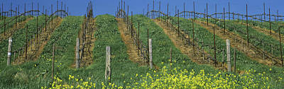 Napa Valley Photograph - Mustard And Vine Crop In The Vineyard by Panoramic Images
