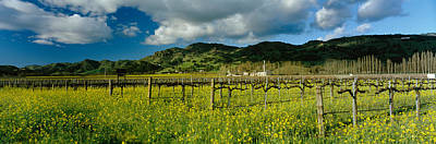 St Helena Photograph - Mustard Crop In A Field Near St by Panoramic Images