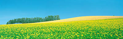 Mustard Yellow Photograph - Mustard Field With Blue Sky by Panoramic Images