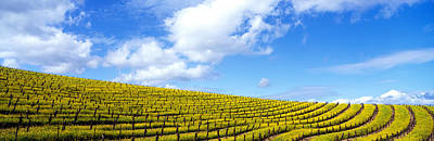 Napa Valley Photograph - Mustard Fields, Napa Valley by Panoramic Images