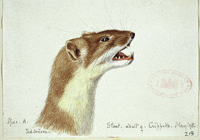 Weasel Photograph - Mustela Erminea by Natural History Museum, London