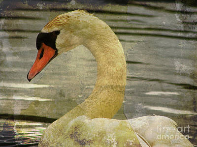 Photograph - Mute Swan by Alyce Taylor