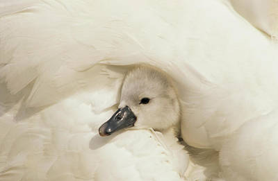 Photograph - Mute Swan Cygnus Olor Cygnet by Flip De Nooyer
