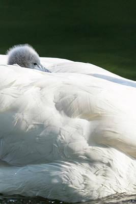 Mute Swan Photograph - Mute Swan (cygnus Olor by Martin Zwick