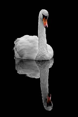 Photograph - Mute Swan by Gavin Macrae