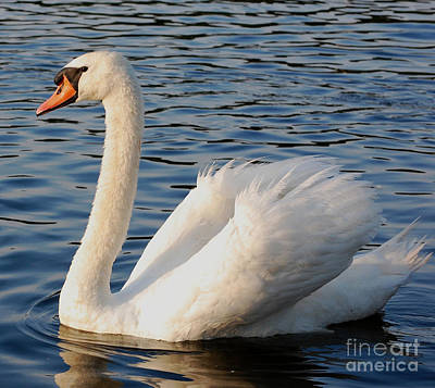 Wall Art - Photograph - Mute Swan In Lake At Sunset by Susan Montgomery