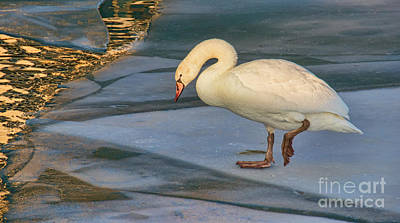 Photograph - Mute Swan On Ice  by Gerda Grice