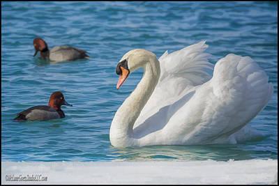 Swan Photograph - Mute Swan On St Clair River by LeeAnn McLaneGoetz McLaneGoetzStudioLLCcom