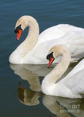 Swans Photograph - Mute Swan Pair Profile by Carol Groenen