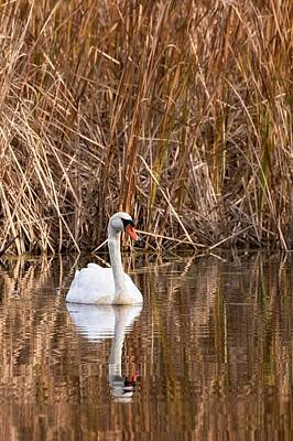 Cygnus Photograph - Mute Swan Reflection by Jeff Sinon