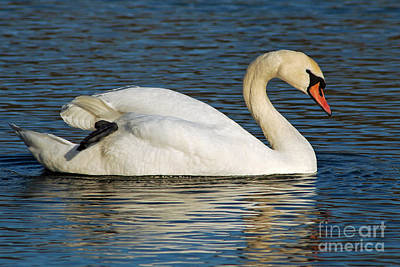 Art Print featuring the photograph Mute Swan Resting by Olivia Hardwicke