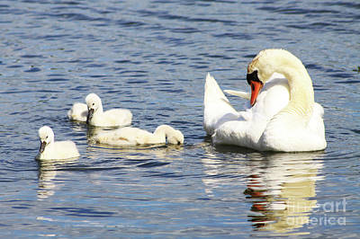 Art Print featuring the photograph Mute Swans by Alyce Taylor