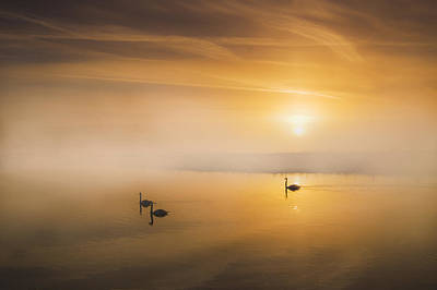 Mute Swans At Dawn Print by Adrian Campfield