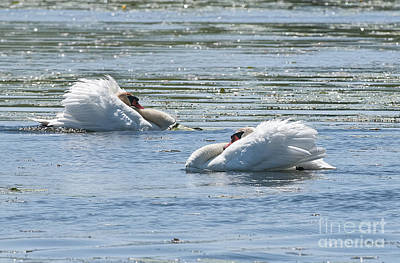 Roaring Red - Mute Swans by Michael Cummings