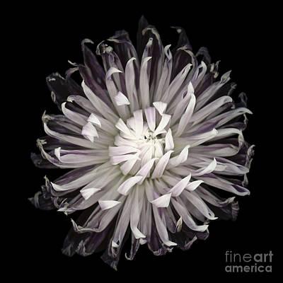 Floral Photograph - Muted Dahlia by Oscar Gutierrez