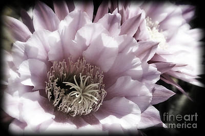Photograph - Muted Pink Cactus Flower by Jim And Emily Bush