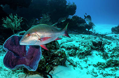 Photograph - Mutton Snapper In The Caribbean Sea by Jennifor Idol