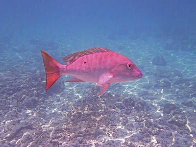 Reptiles Royalty-Free and Rights-Managed Images - Mutton Snapper Profile by Carey Chen