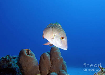 Mutton Snapper Reef Print by Carey Chen