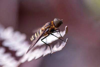 Nature Ers Photograph - Mutuca Fly Tabanidae by Leonarco Mer�on