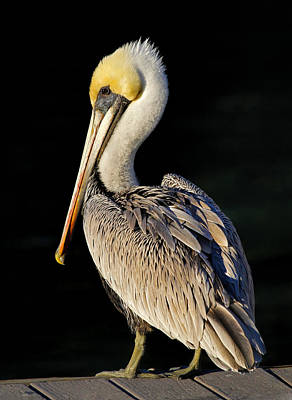 Photograph - My Best Side - Brown Pelican by HH Photography of Florida
