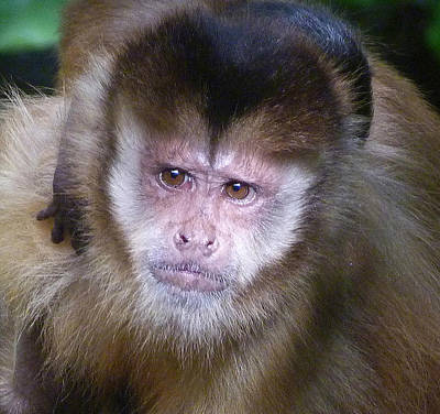 Photograph - My Capuchin Baby by Margaret Saheed