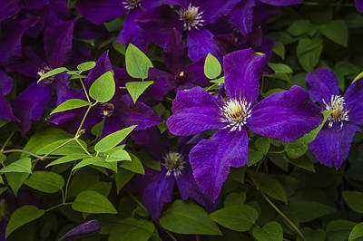 Photograph - My Clematis by Penny Lisowski
