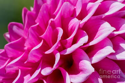 Photograph - My Dahlia by Tikvah's Hope