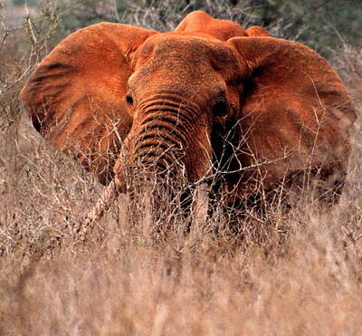 Photograph - My Elephant In Africa by Phyllis Kaltenbach