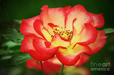 Photograph - My Garden Rose by Elizabeth Winter
