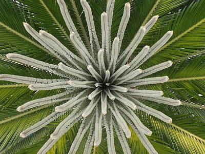 Photograph - My Giant Sago Palm by Rebecca Cearley