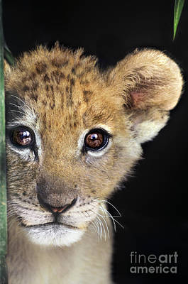 Photograph - My Grandma What Big Eyes You Have African Lion Cub Wildlife Rescue by Dave Welling