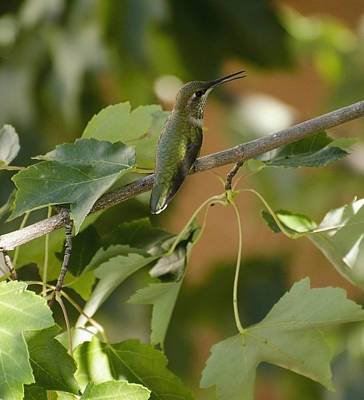 Photograph - My Green Colored Hummingbird 1 by Teri Schuster