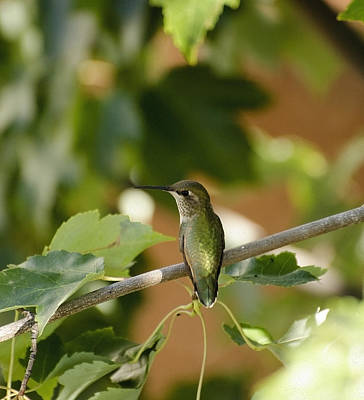 Photograph - My Green Colored Hummingbird 2 by Teri Schuster
