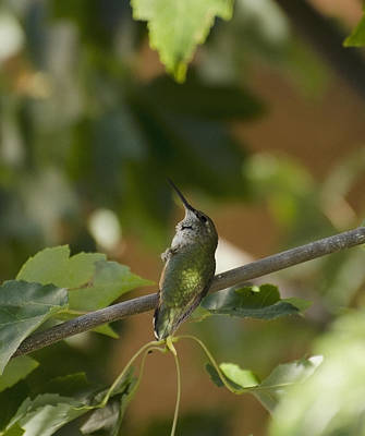 Photograph - My Green Colored Hummingbird 3 by Teri Schuster