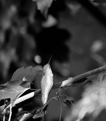Photograph - My Green Hummingbird Black And White by Teri Schuster