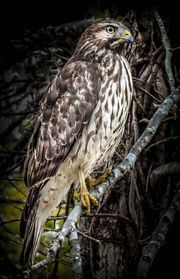 Red Shouldered Hawk Photograph - My Hawk Encounter by Karen Wiles