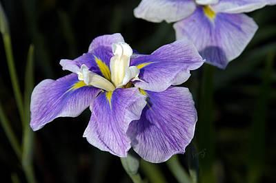 Photograph - My Iris II by Penny Lisowski