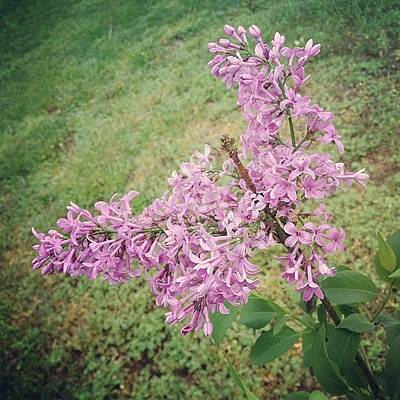 My Lilac Is Blooming. It's Not Exactly Art Print
