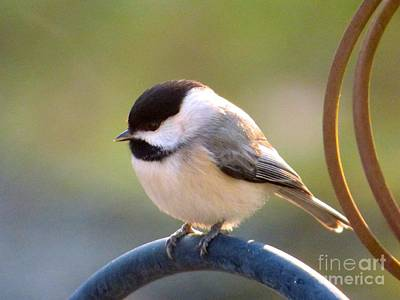 Photograph - My Little Chickadee by Jean Wright