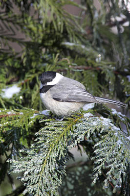 Photograph - My Little Chickadee by Robert Camp