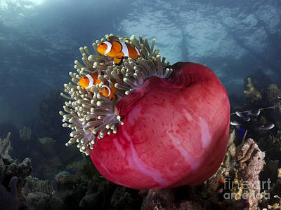 Clown Fish Photograph - My Little Red Home by Yusran Abdul Rahman