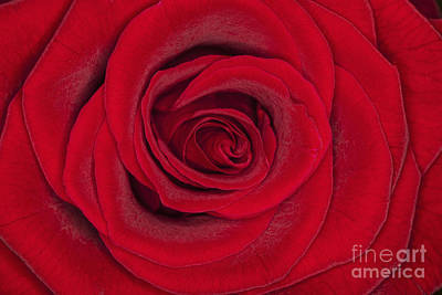 Photograph - My Love Is Like A Red Red Rose by Diane Macdonald