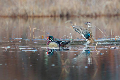 Wood Duck Photograph - My Man by Bill Wakeley