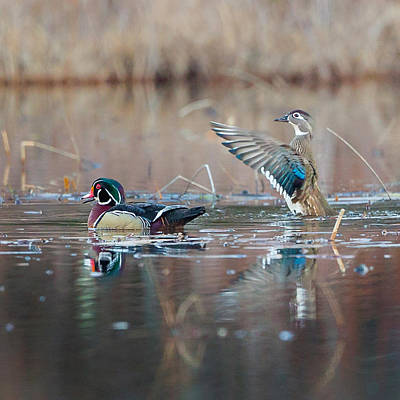 Wood Duck Photograph - My Man Square by Bill Wakeley