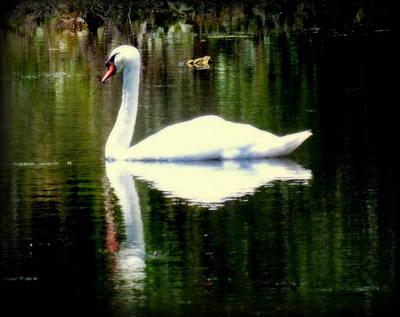 White Swan Photograph - My Secret Garden by Karen Wiles